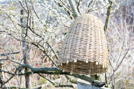 wicker work: Handmade hive of bees to capture bee swarms in nature