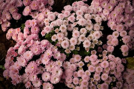 plant delicate: pink flowers background