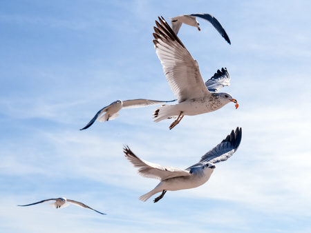 Flock of seagulls flying and eating food in the blue sky. Most successful bird out of this group gets a piece of food after stealing it from a tourist. Winner takes it all. Stock Photo