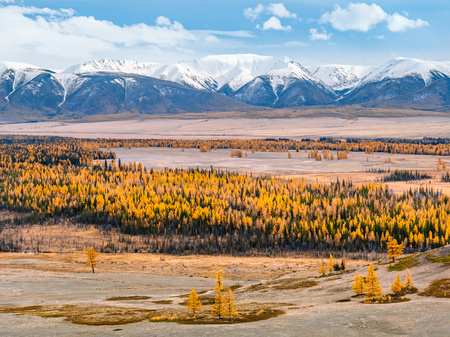 Stunning view to a vast valley, full of yellow larches, with snow capped mountains at the background. Autumn at its finest in Kuray Basin, a steppe in front of North Chuya Range of Altai Mountains.