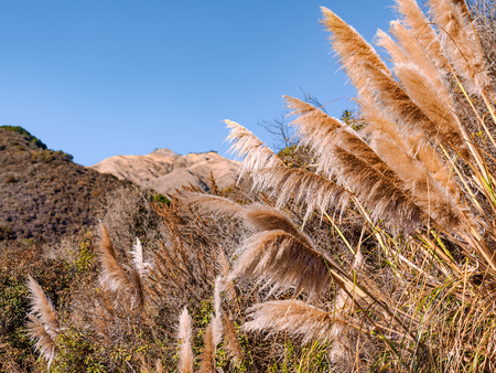 Dry pampas grass in the breeze during the drought season in California. Shot taken on a sunny day at the Pfeiffer Big Sur State Park along the Pacific Coast Hwy. Mountains are seen in the background.