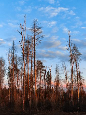 Full-length shot of tall bare trees in early spring. Forest grove of pines and birches with bright orange red trunks glowing at sunset. Deep blue sky and some silver grey clouds, vertical view. Stock Photo
