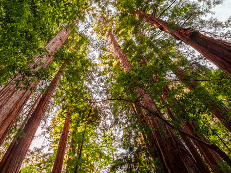 Tall redwood trees grove in Big Basin State Park, California. The largest living organisms rise far above the forest floors near the Pacific Coast. Bright light shines through the giant trees. Stock Photo