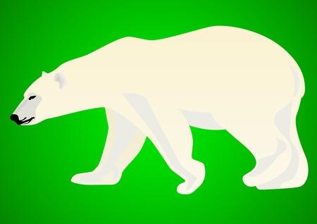 arctic: Polar bear-predatory animals live in the Arctic. Animal on a green background.