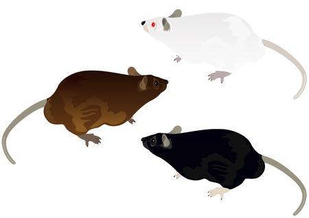 roedor: Rat�n blanco, rata, campo y ornamental rata sobre un fondo blanco Vectores