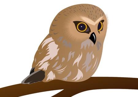 bird watching: Nocturnal bird of prey sitting on a branch.