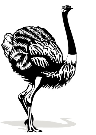 largest: Ostrich is the largest bird. Black and white illustration