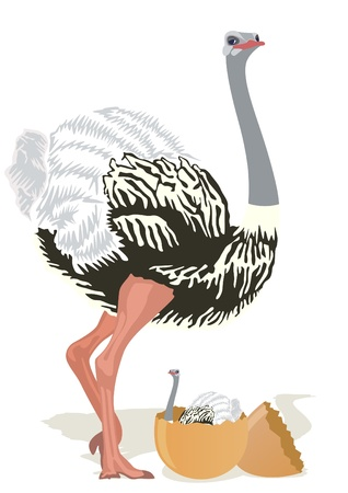 Ostrich stands near the egg from which hatched ostrich. The illustration on white background. Vector