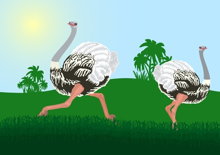 Wildlife. Two ostriches in their natural habitat Vector