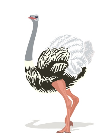 Ostrich is the largest bird. The illustration on white background