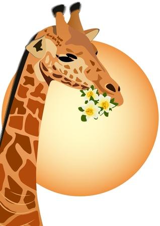 flora fauna: Giraffe - the tallest animal. Part of the animal. Giraffe holding flowers.