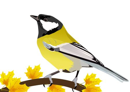 Tit-winter bird on a branch of maple. The illustration on white background