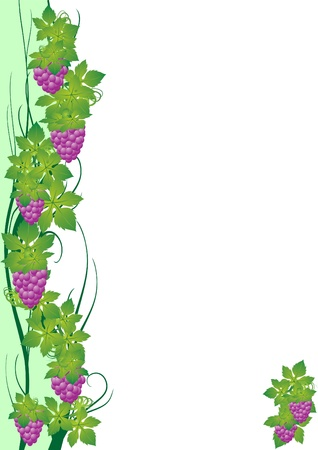 The vine and grapes. The illustration on a white background Stock Vector - 13569289