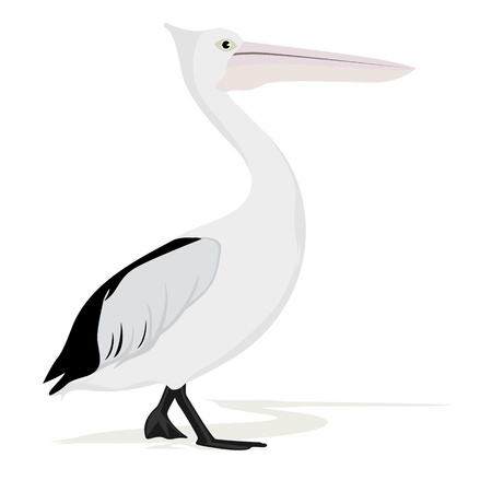 An adult pelican. The illustration on a white background.