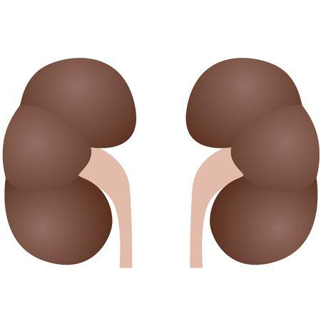 organos internos: Los �rganos internos. La ilustraci�n sobre un fondo blanco. Vectores