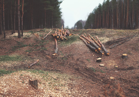 felling: Environment, nature and deforestation forest concept - felling of trees in the woods Stock Photo