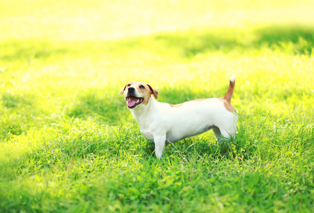 Jack Russell Terrier dog on the green grass at summer sunny day