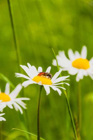 hymenoptera: Hymenoptera (Sphecodes albilabris) pollinates the flower (Leucanthemum Vulgare)