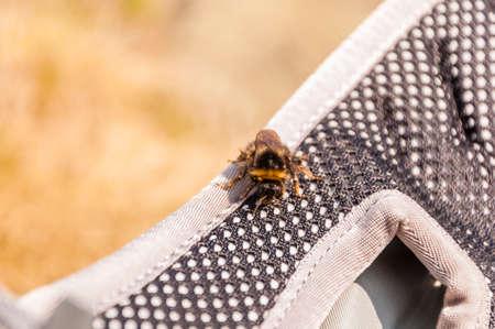 bombus: Closeup of a bumblebee (Bombus pyrenaeus Perez) Stock Photo