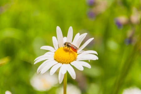 hymenoptera: Hymenoptera (Sphecodes albilabris) on daisy flower