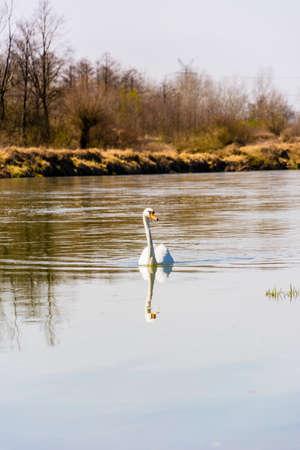 cygnus olor: Mute Swan (Cygnus olor) floats on the river