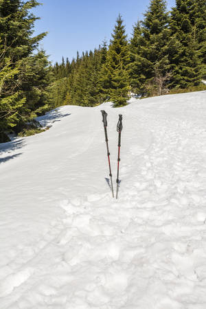 driven: Trekking poles driven into the snow with spruce trees in the background