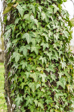 Hedera helix (common ivy, English ivy, European ivy) on the bark of Betula pendula (Silver birch, Warty birch)
