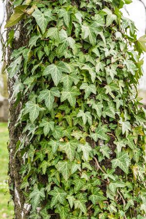 betula pendula: Hedera helix (common ivy, English ivy, European ivy) on the bark of Betula pendula (Silver birch, Warty birch)