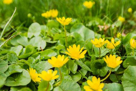 robert: Lesser celandine (Ranunculus ficaria, Ficaria grandiflora Robert, Ficaria verna Huds.) - Yellow flower