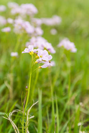 smock: Cardamine pratensis L. (cuckooflower, lady s smock) plant of the family Brassicaceae Stock Photo