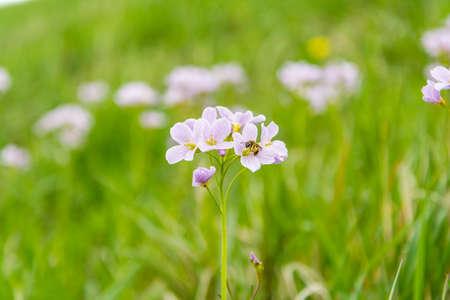 lady s: Insectos en las flores (Cardamine pratensis L. (cuckooflower, bata dama s)), que floreci� en la primavera