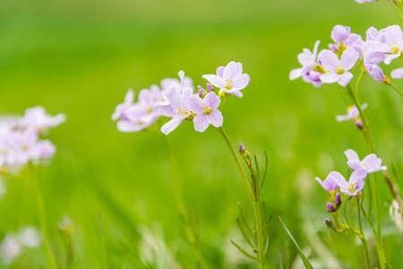 Cardamine pratensis L. (cuckooflower, lady s smock) - Flowers bloom in spring photo
