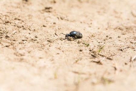 pronotum: Blister beetle - Meloe proscarabaeus