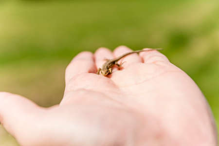 rapprochement: Young lizard (Sand lizard, Lacerta agilis) on hand