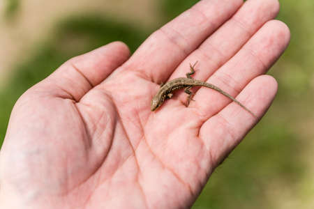 rapprochement: Small reptile (Sand lizard (Lacerta agilis) on hand