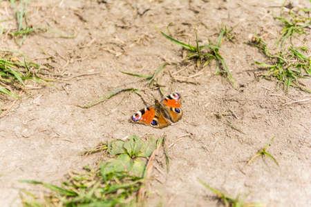 peacock butterfly: European Peacock (Aglais io, Peacock butterfly) Stock Photo