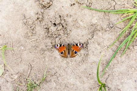 peacock butterfly: Imago - Aglais io (European Peacock, Peacock butterfly)