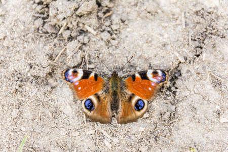 io: Closeup of a beautiful butterfly (European Peacock, Aglais io, Peacock butterfly)