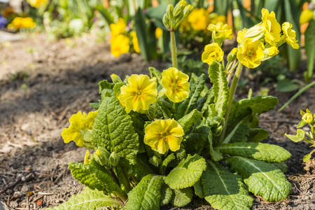 true bred: Primula elatior (oxlip, true oxlip) - yellow flowers