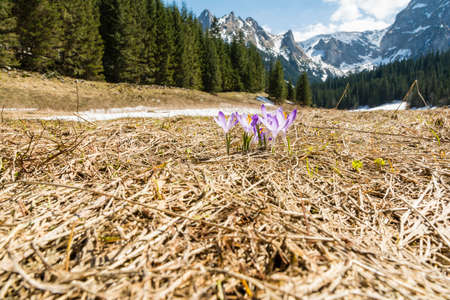 heralds: Group of blooming flowers (Crocus scepusiensis) with the peaks in the background, which heralds the arrival of spring in the mountains Stock Photo