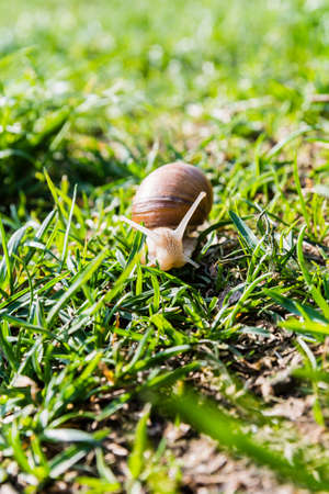 edible snail: En face snail (Helix pomatia, Burgundy snail, Roman snail, edible snail, escargot)