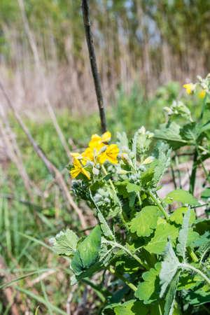 greater: Flowering plant - Chelidonium majus (greater celandine, tetterwort)