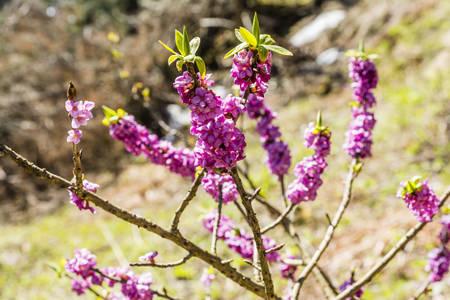 dafne: Fioritura ramoscelli Daphne mezereum L. (Febbraio daphne, mezereon, mezereum, alloro euforbia, olive euforbia)