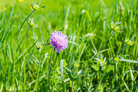 occurring: Plant Knautia arvensis (Field Scabious) occurring in the meadows