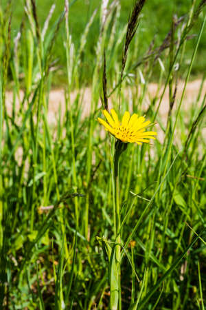 showy: Plant Tragopogon pratensis (Meadow Salsify, Showy Goats-beard, Meadow Goats-beard or Jack-go-to-bed-at-noon) in the wild
