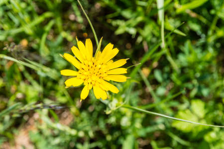 showy: Flower Tragopogon pratensis (Meadow Salsify, Showy Goats-beard, Meadow Goats-beard or Jack-go-to-bed-at-noon) seen from above