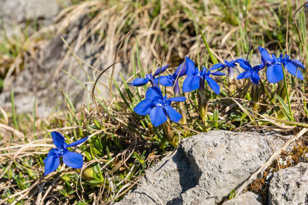 alpine tundra: Spring flowers (Spring gentian, Gentiana verna L.) on a natural position