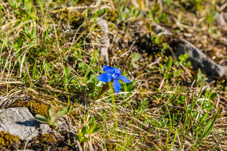 gentian flower: Flower (Gentiana verna L., Spring gentian) of the family Gentianaceae Stock Photo