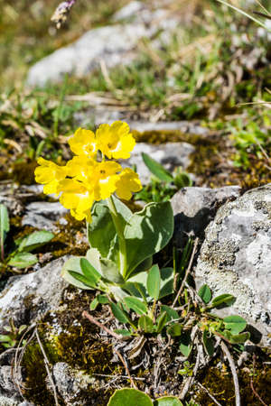 alpine tundra: Plant (Primula auricula L., auricula, mountain cowslip, bears ear) with yellow flowers growing on a limestone base Stock Photo