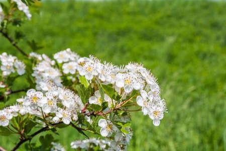 crata�gus: Crataegus monogyna (espino de un solo cabeza de serie, el espino com�n) flores
